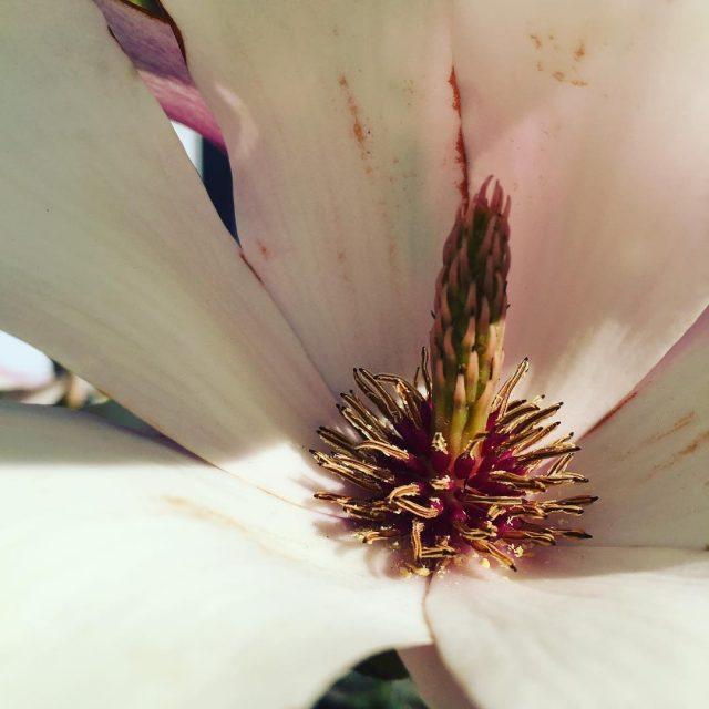 Magnolietid magnolia smukt havelykke forr blomsterlykke blomster