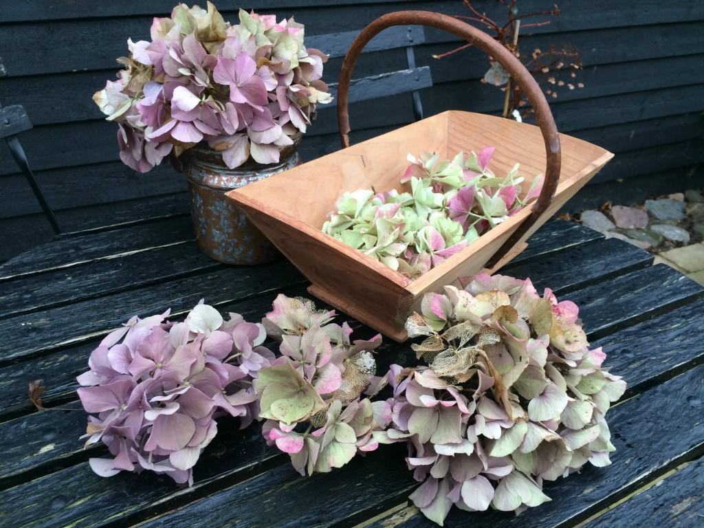 Klip blomsterhovederne af dine hortensia