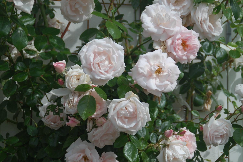 Beskæring af roser, får rosen busken til at blomstre smukt