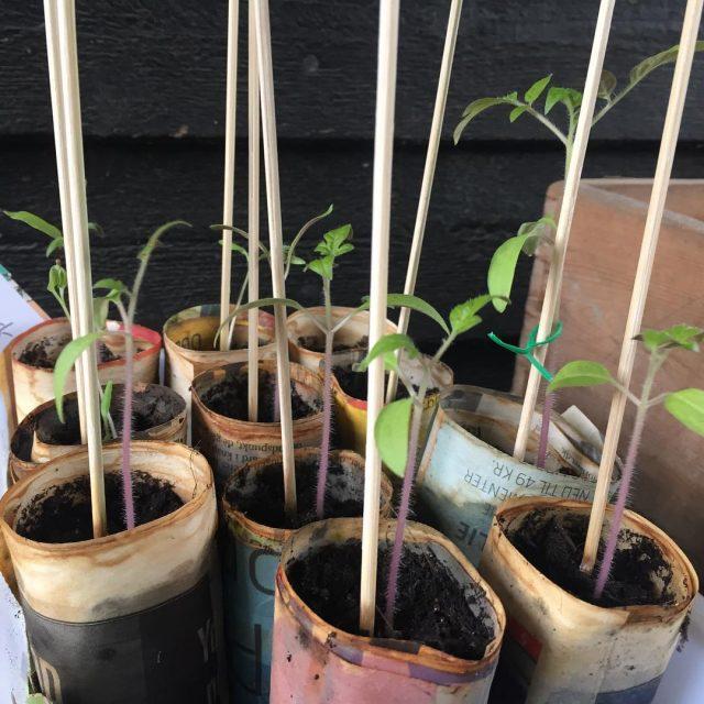Tomatplanter p vej  nu m vejret godt snart flgehellip