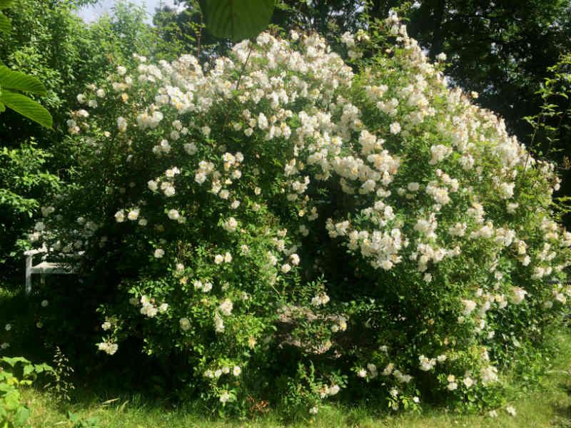 Rosenpavillon med Rosa Helenae Lykkefund