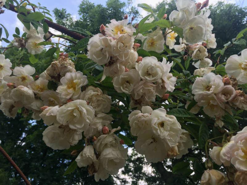 Rosa Helenae Lykkefund har et væld af roser