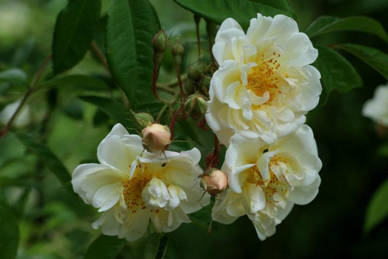 Rosa Helenae Lykkefund