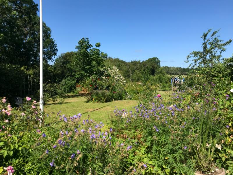 Geranier i haven