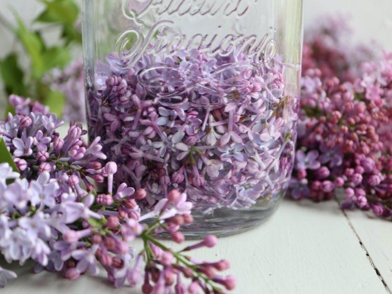 Syrenlikør – likør lavet på syrenblomster
