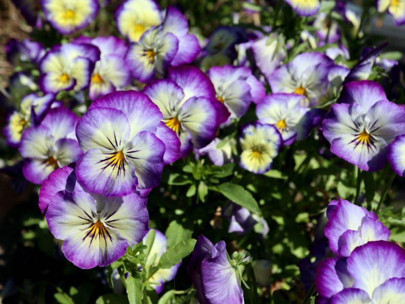 Hornvioler i foråret - frø af hornvioler og stedmoder