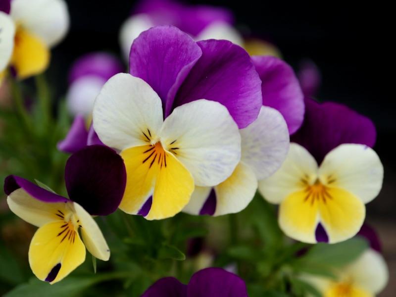 Blomstrende hornvioler - tag frø af hornvioler og stedmoder