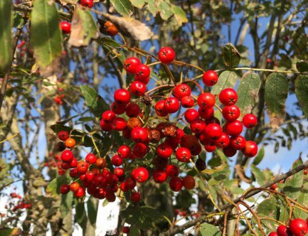 Opskrifter med rønnebær